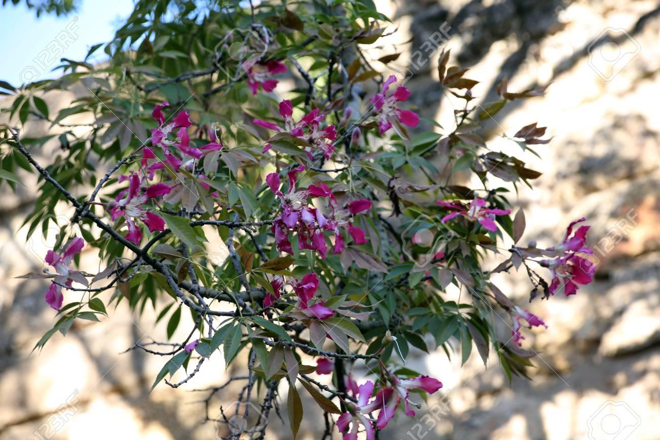 Kapok tree (Ceiba pentandra), Sevilla, Andalusia, Spain