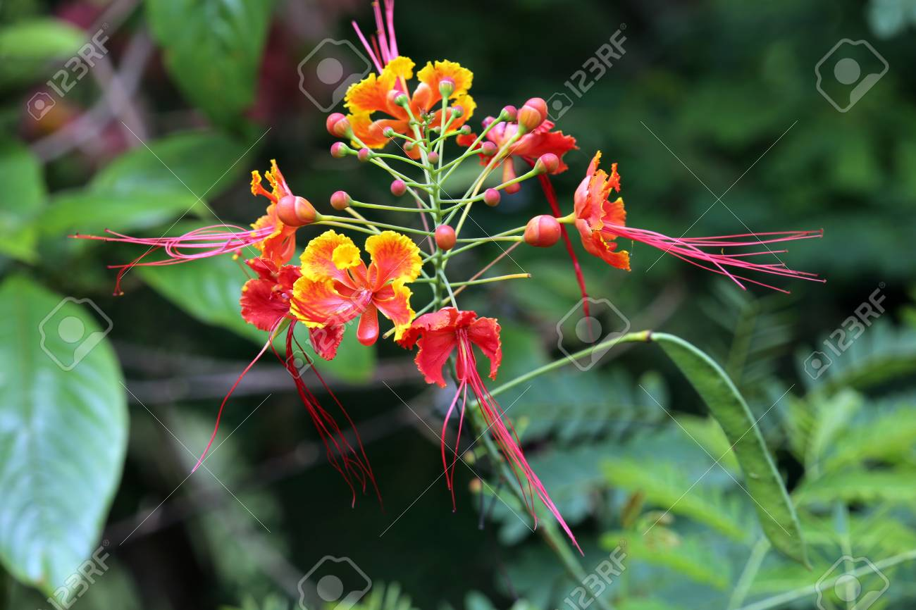 Mexican Bird Of Paradise Dwarf Poinciana Pride Of Barbados