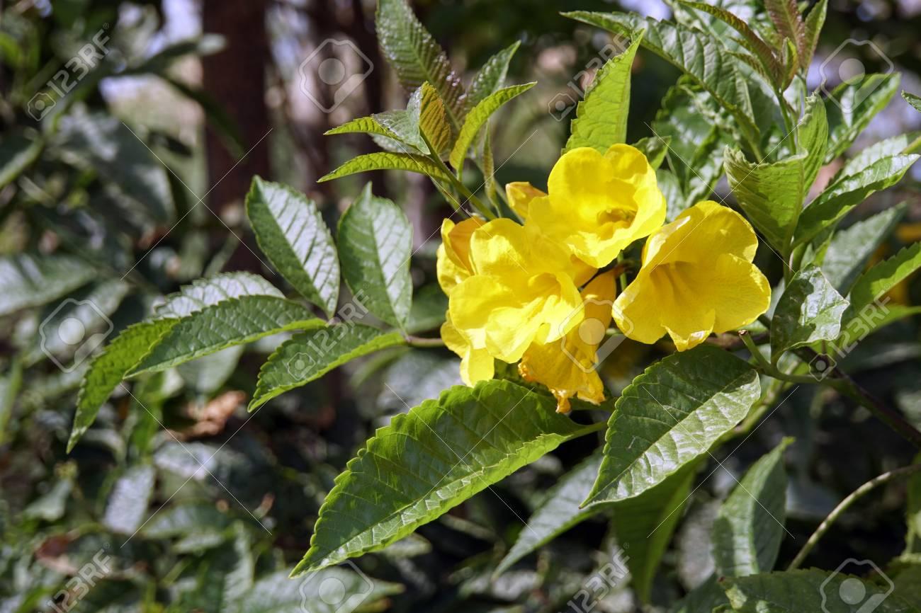 Trumpet shrub yellow trumpet flower yellow bell tecoma stans trumpet shrub yellow trumpet flower yellow bell tecoma stans el quseir mightylinksfo