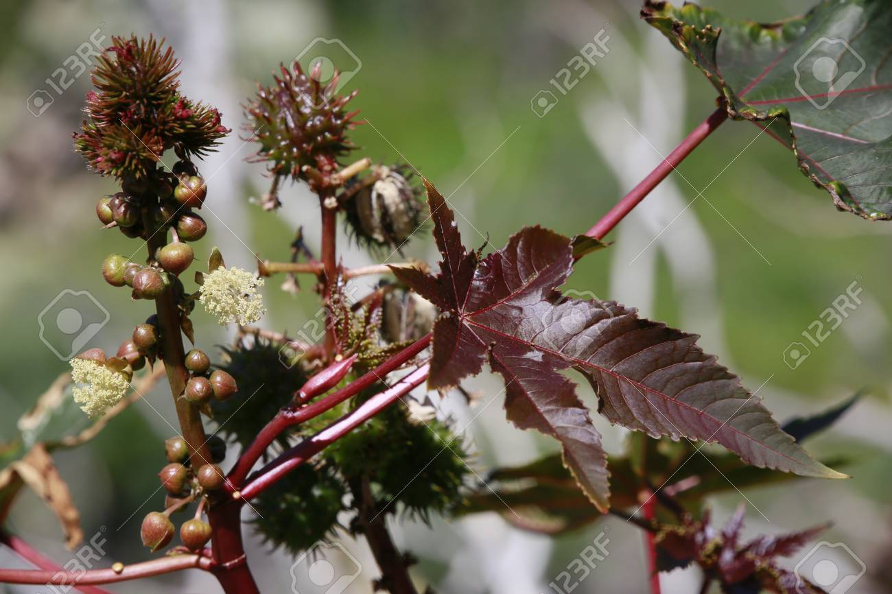 Castor Bean Or Castor Oil Plant Ricinus Communis Tazacorte Stock Photo Picture And Royalty Free Image Image 104588516