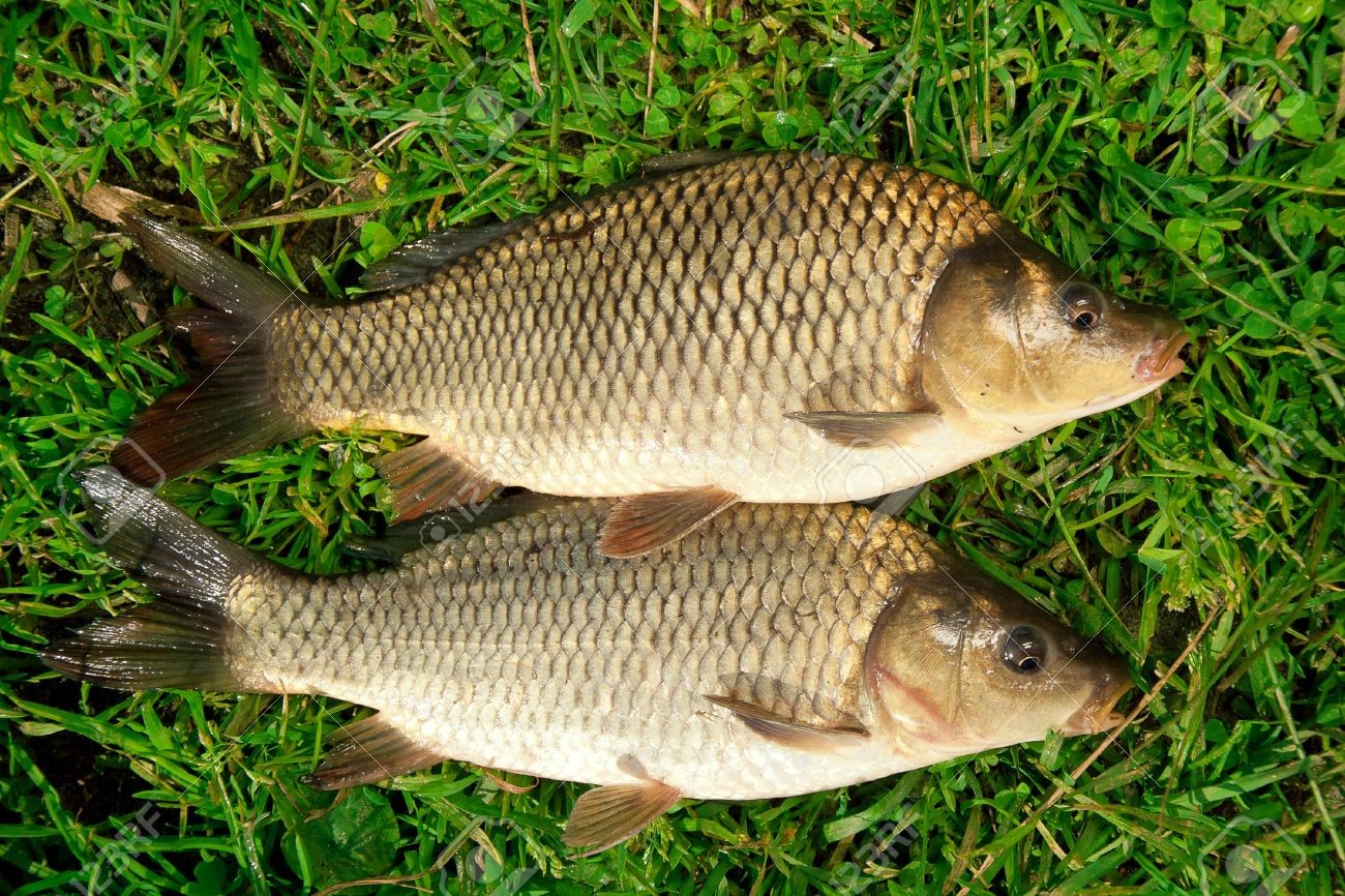 Freshwater fish Carp catch in green grass - 14538359