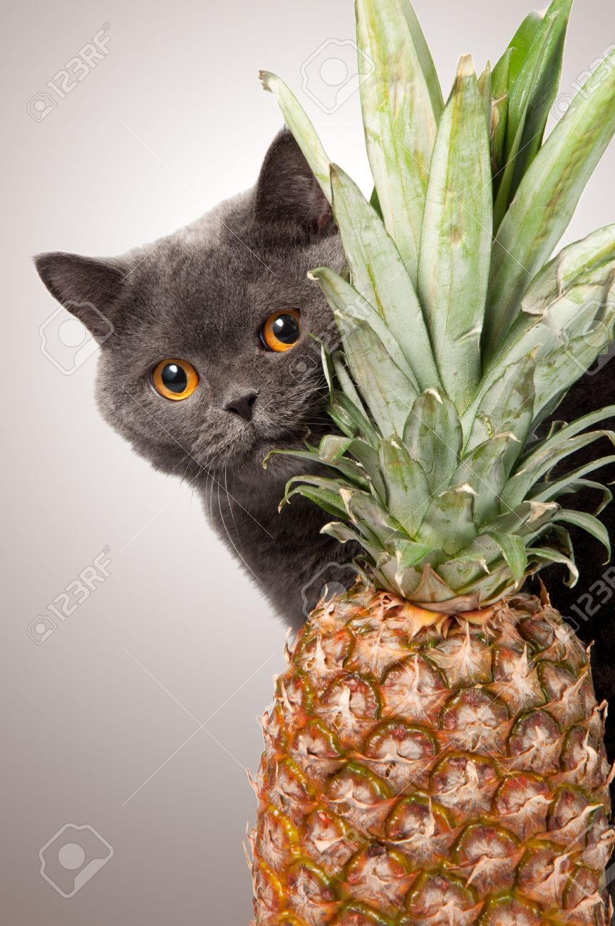 british shorthair cat with pineapple on grey background Stock Photo - 14545250