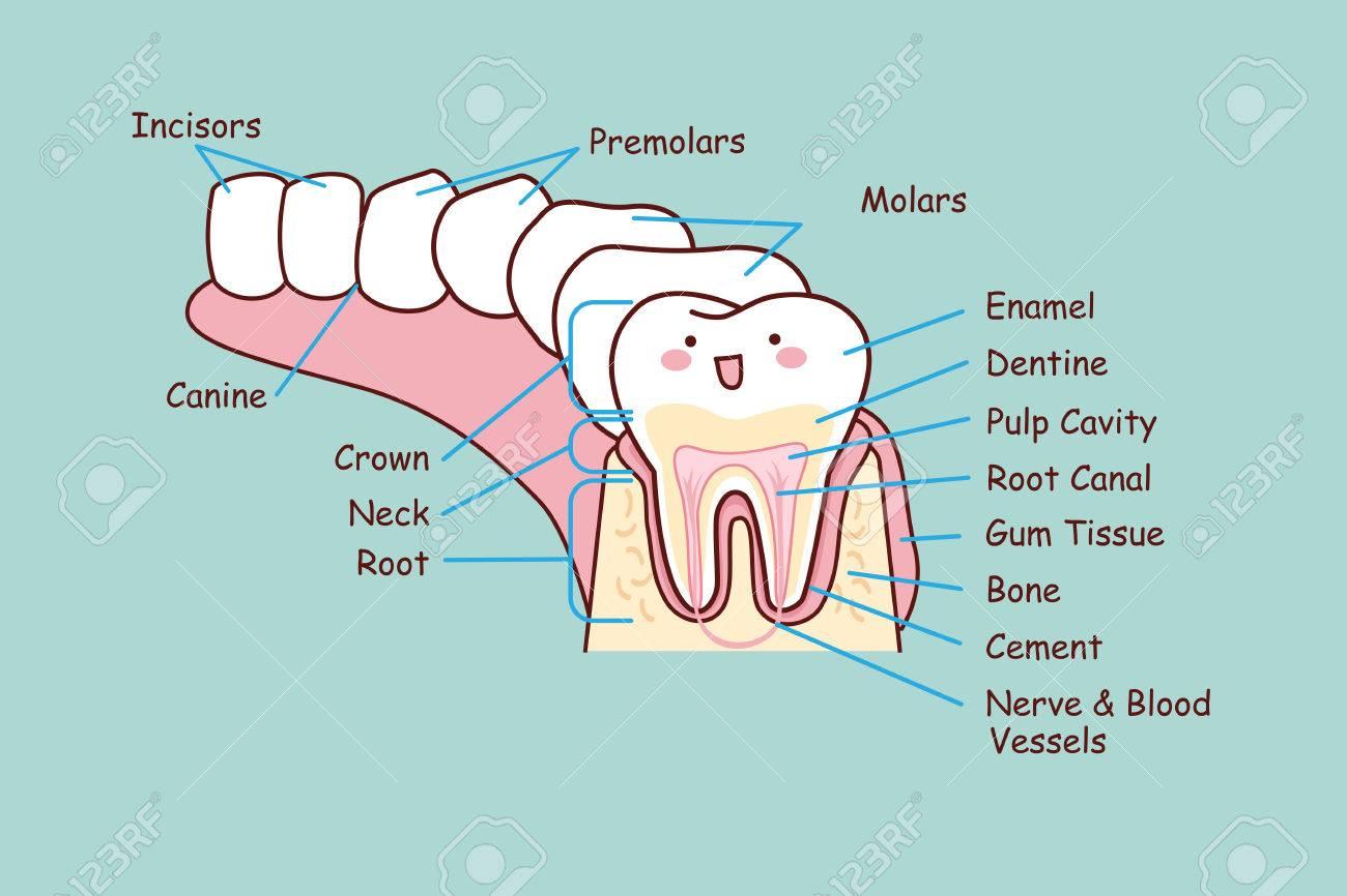 Cartoon Dental Anatomy Tooth Great For Health Dental Care