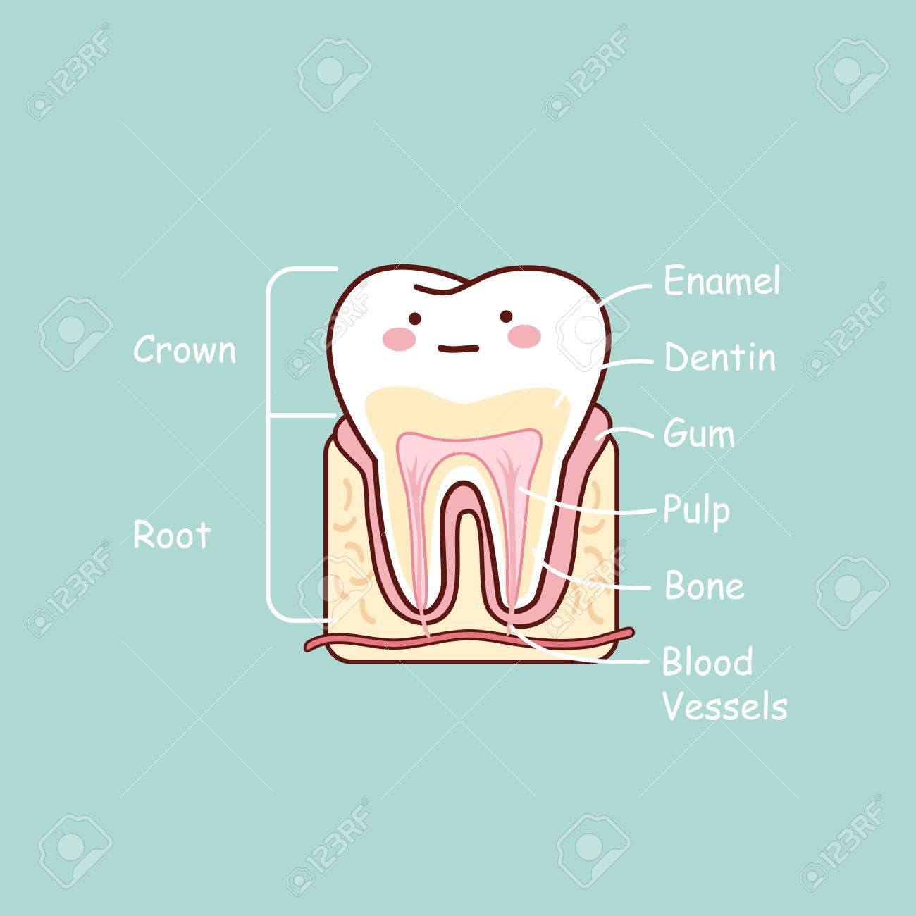 Cartoon Tooth Anatomy Chart Great For Dental Care And Teeth