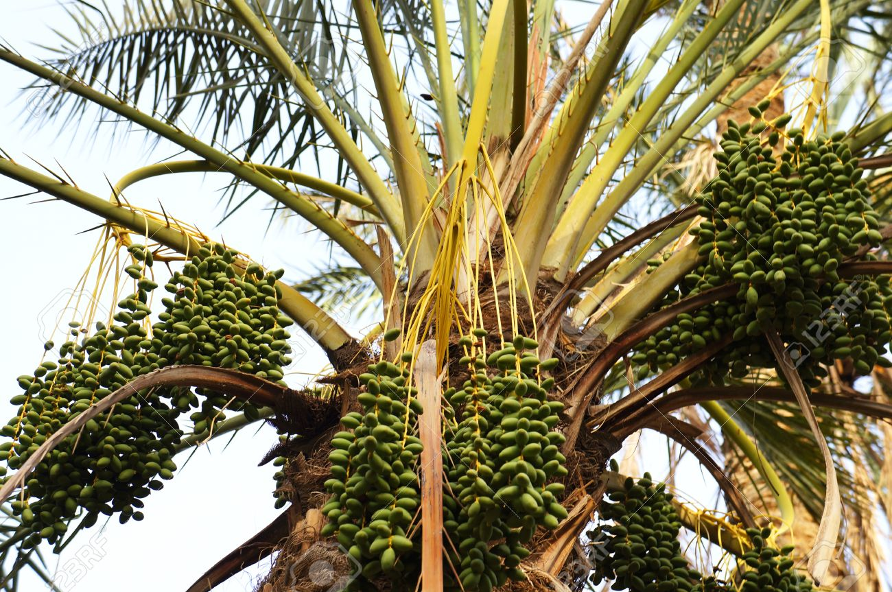 Close up view of the crown of date palm tree with green fruits Stock Photo - 15424423