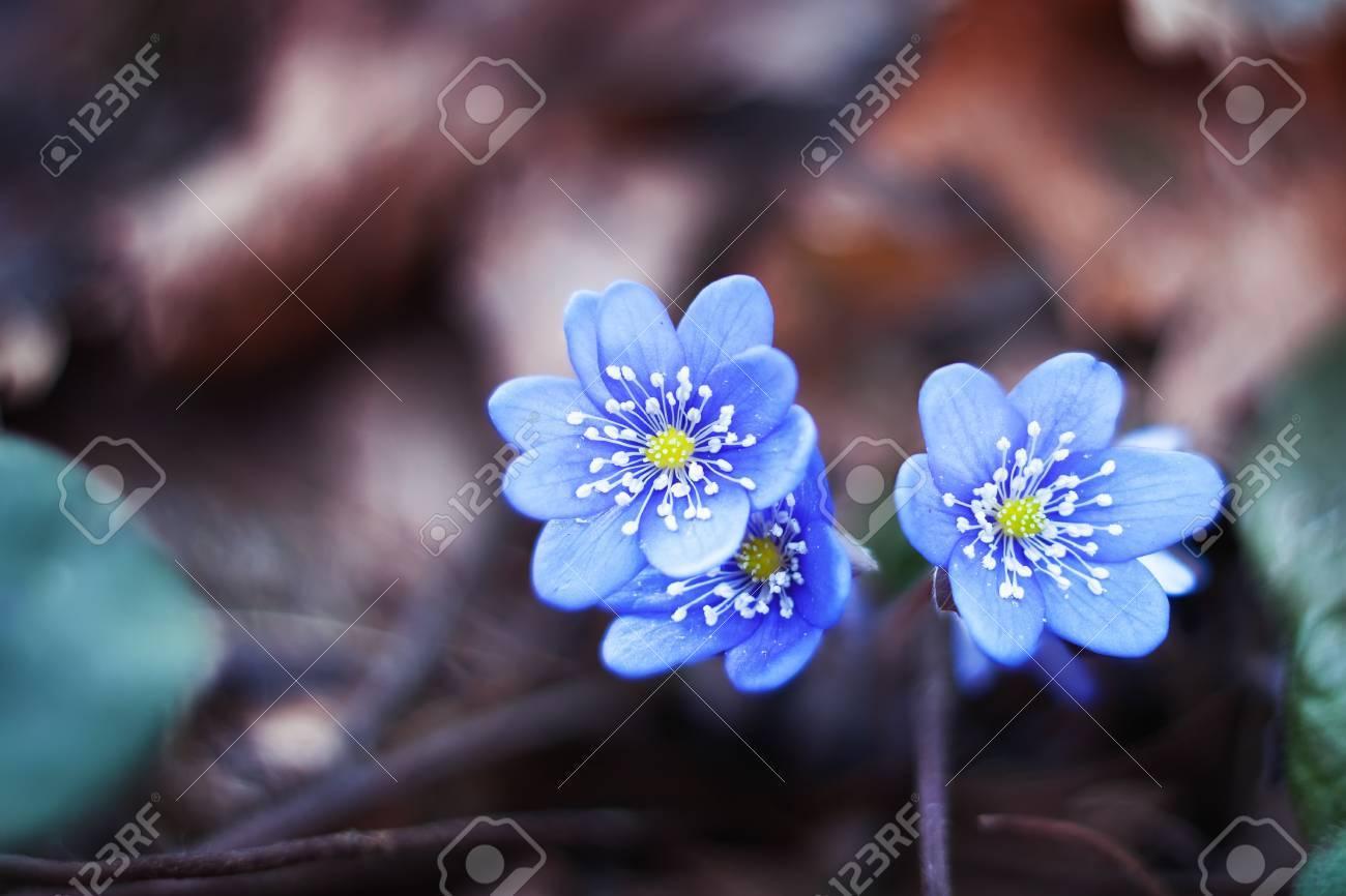 Early Spring Flowers Blue Hepatica Oder Schneeglockchen Lizenzfreie