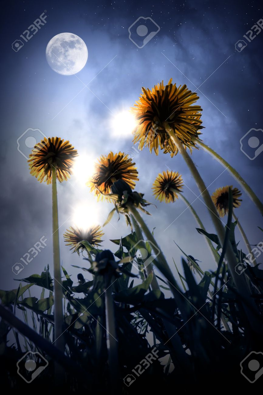 Beautiful night landscape of fantasy world with big dandelion beautiful night landscape of fantasy world with big dandelion flowers moon stars and magic izmirmasajfo
