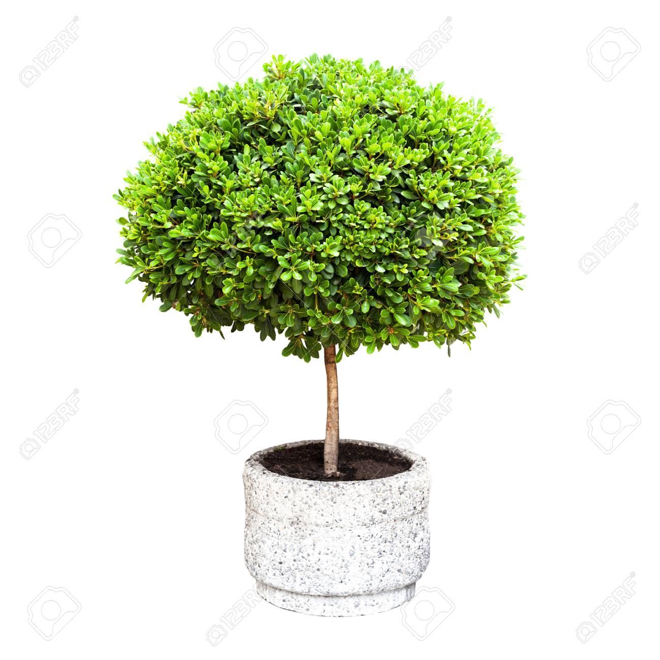 petit arbre décoratif vert dans un pod isolé sur blanc banque d