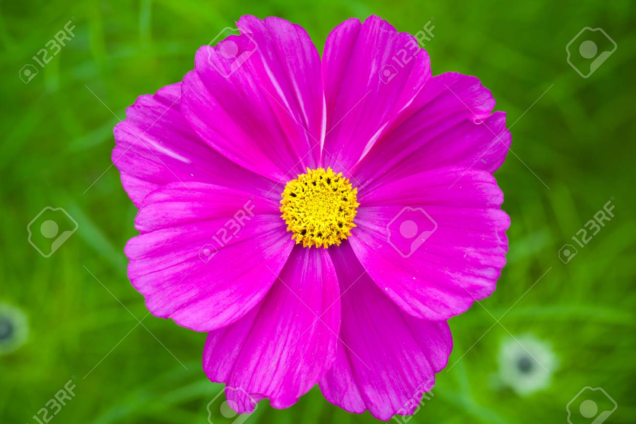 Bright Purple Daisy Flower On Green Grass Background Selective