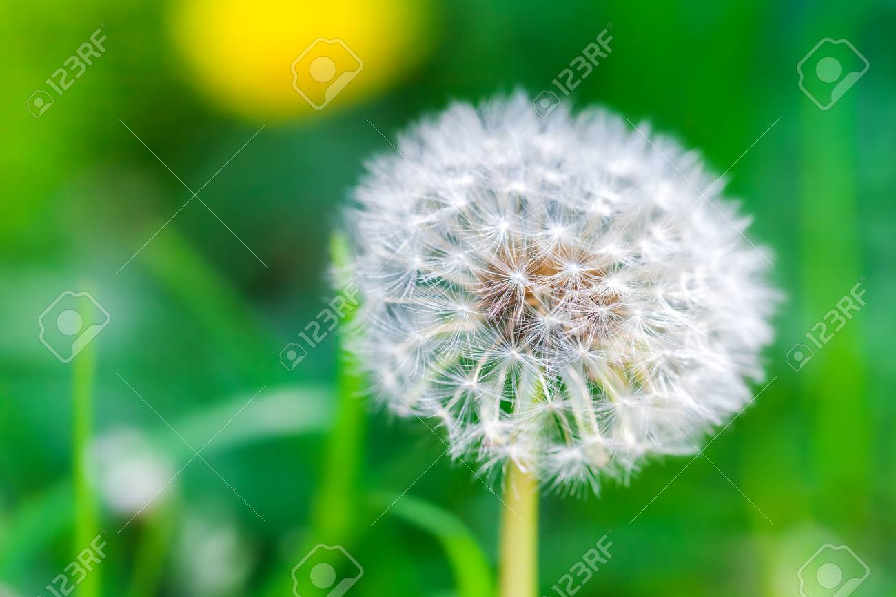 Dandelion Flower With Fluff Macro Photo On Bright Green Background Use Selective Focus In Photography For Dummies Stock