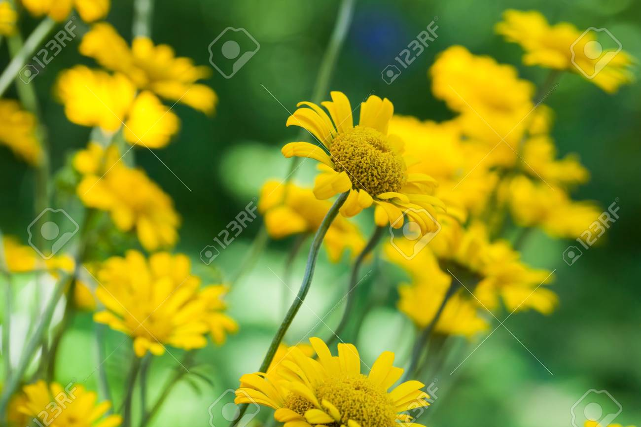 Bright Yellow Helenium Flowers In The Garden Macro Photo With Use Selective Focus Photography For Dummies Stock