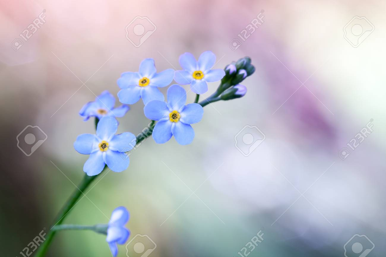 Forget Me Not Flowers Over Colorful Blurred Background Macro Use Selective Focus In Photography For Dummies Photo With Stock