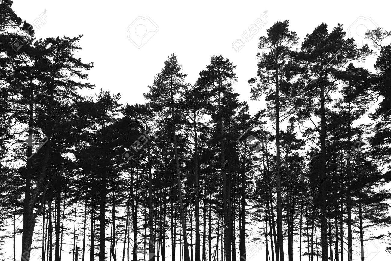 Pine Trees Forest Isolated On White Background Black Stylized