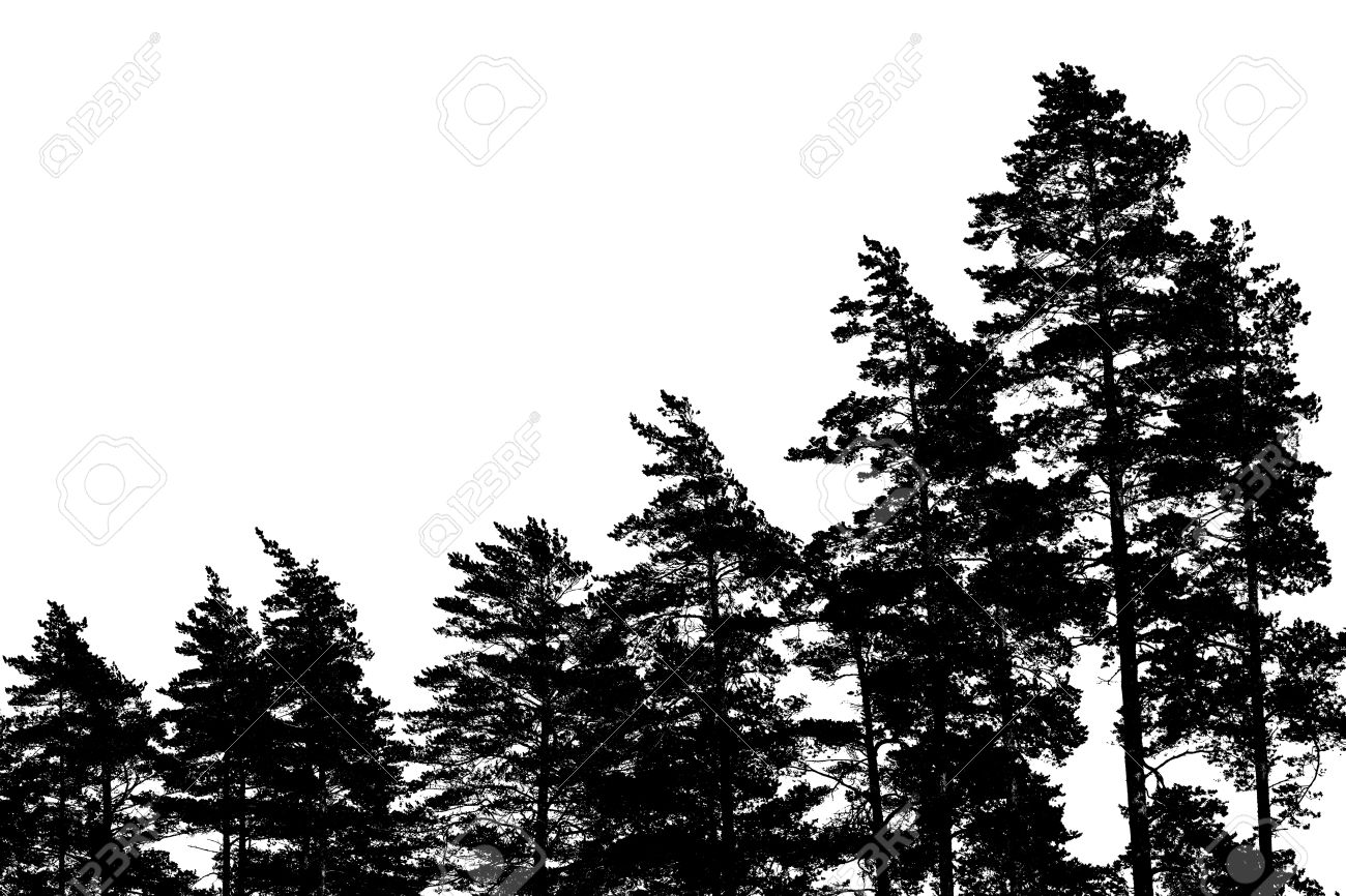 Black Pine Tree Silhouettes Isolated On White Forest Background