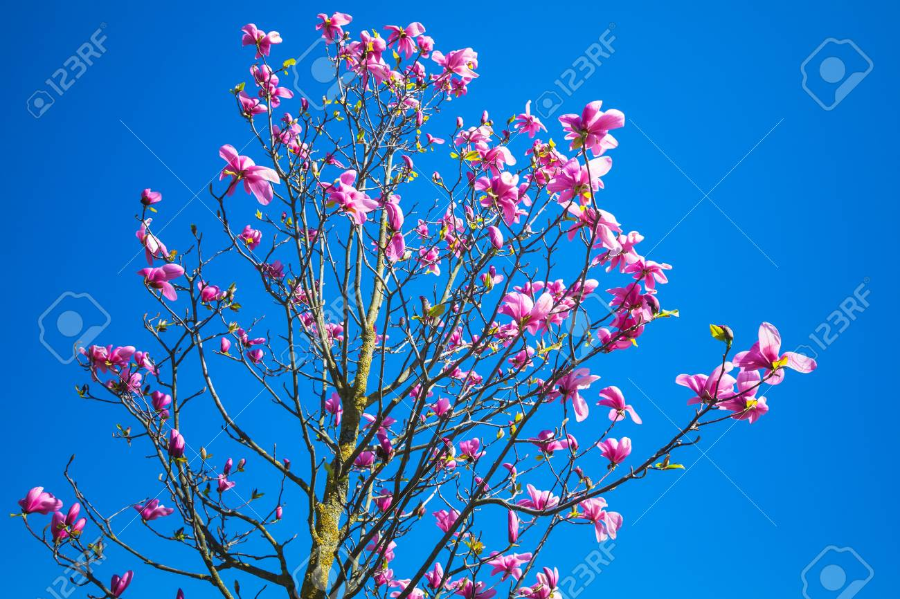 Magnolia tree with pink flowers on bright blue sky background magnolia tree with pink flowers on bright blue sky background photo with selective focus stock mightylinksfo