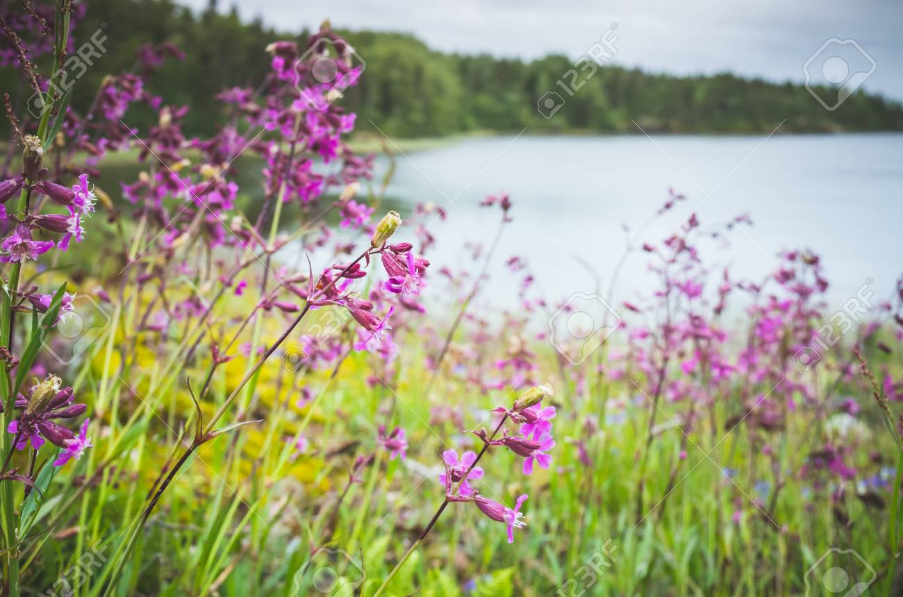 Wild pink flowers growing on the ladoga lake coast summer natural stock photo wild pink flowers growing on the ladoga lake coast summer natural background photo russia mightylinksfo