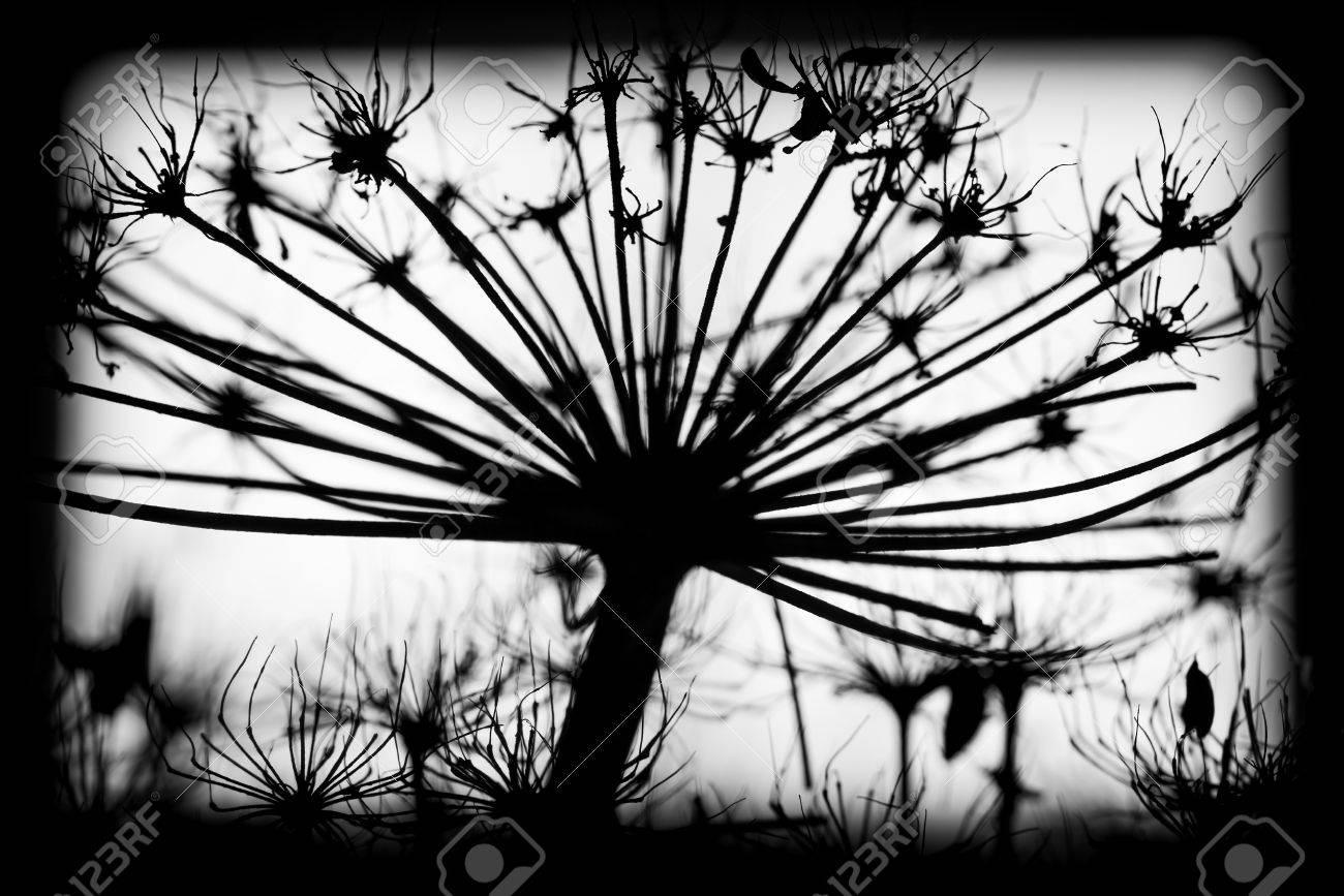 Dunkle Trockene Heracleum Sosnowskyi Blumen, Gerahmte Schwarz-Weiß ...