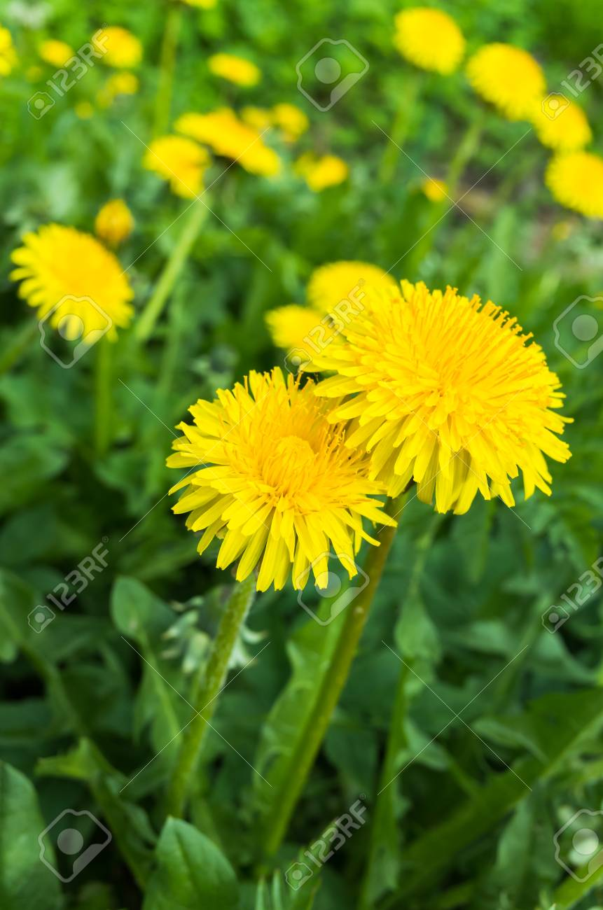 Fresh bright yellow dandelion flowers grow on spring meadow stock fresh bright yellow dandelion flowers grow on spring meadow vertical photo with selective focus stock mightylinksfo