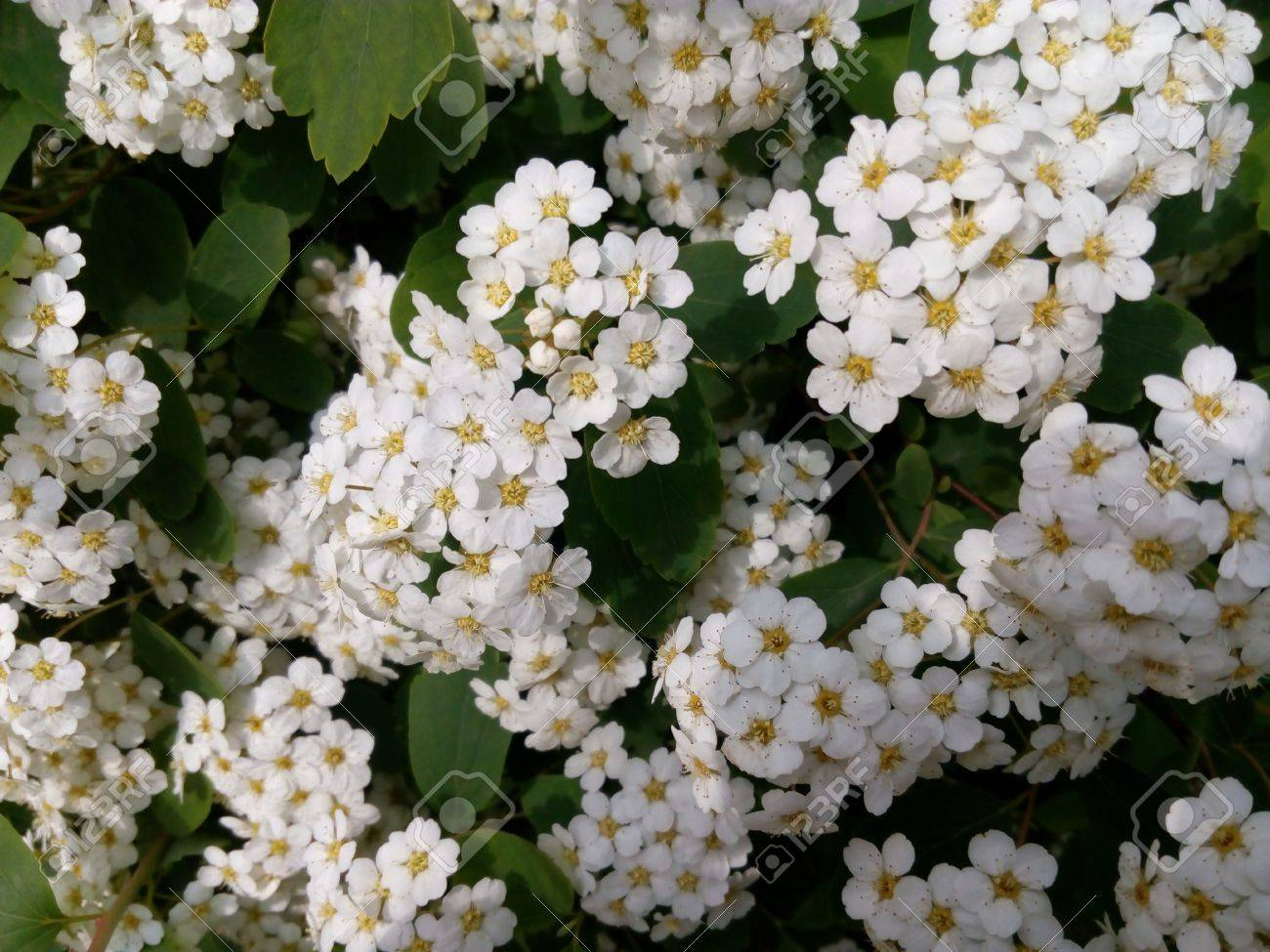 Spring Green Bush Studded With Small White Flowers Stock Photo