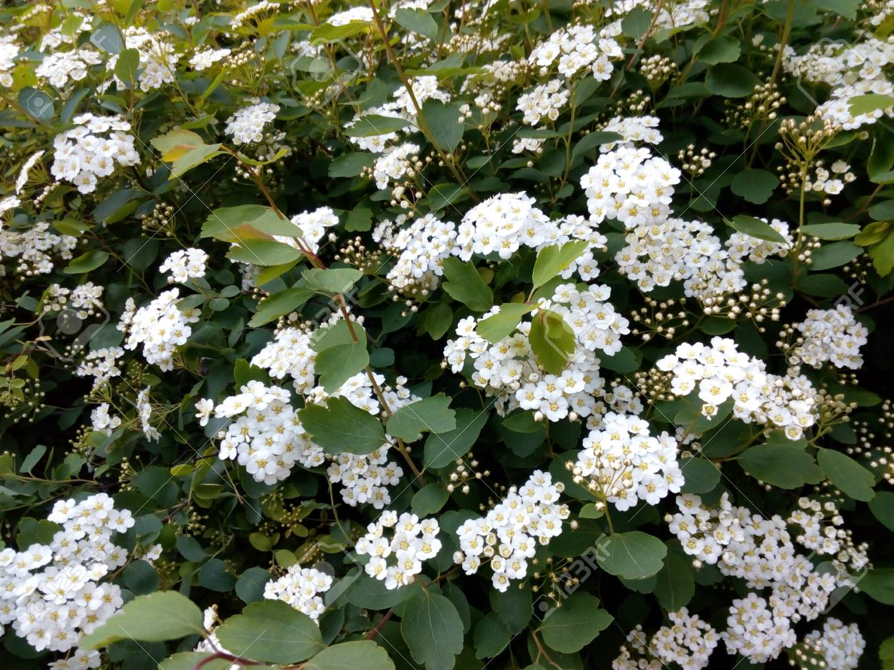 Spring green bush studded with small white flowers stock photo spring green bush studded with small white flowers stock photo 69031108 mightylinksfo