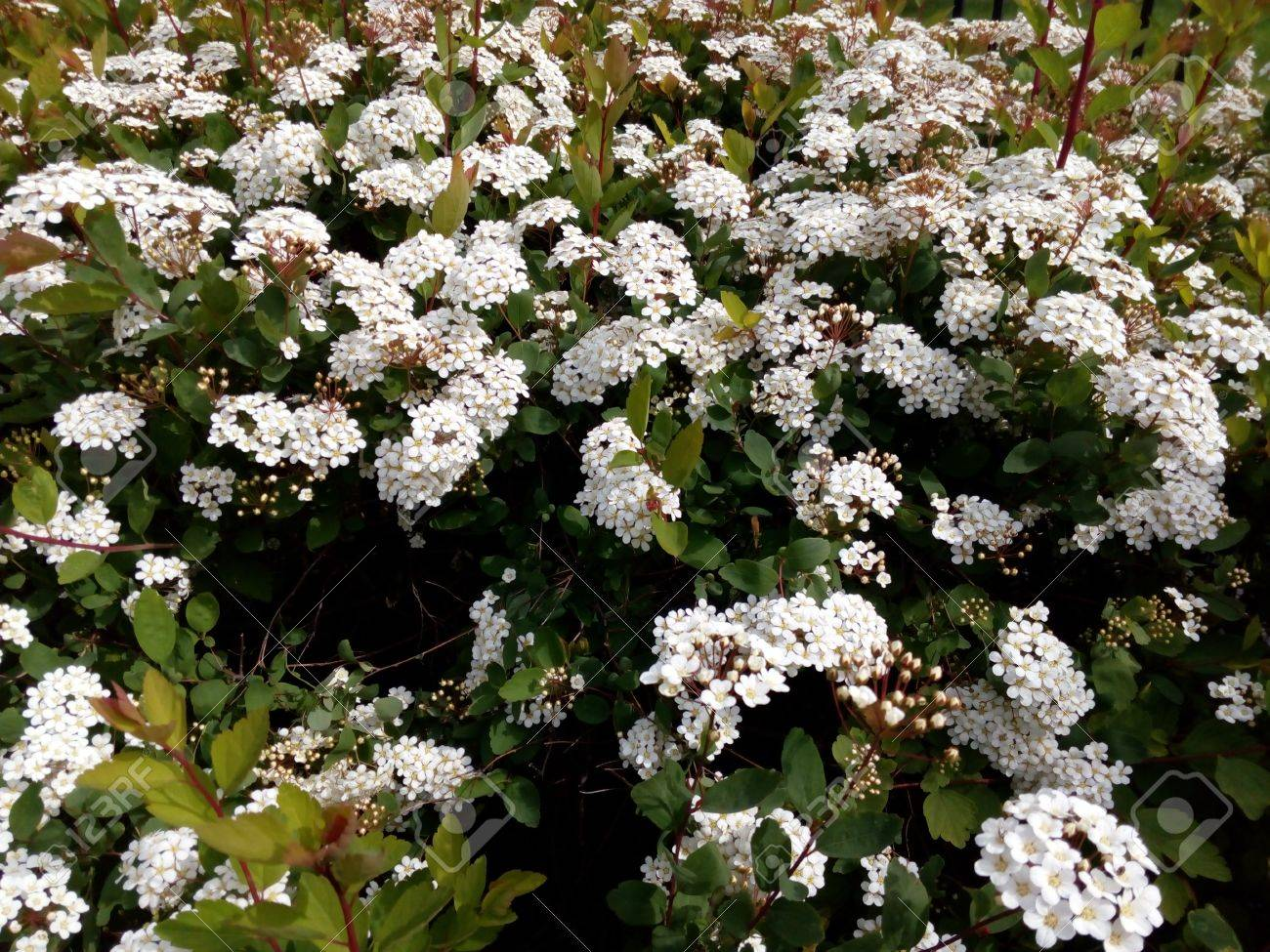 Spring green bush studded with small white flowers stock photo spring green bush studded with small white flowers stock photo 68984038 mightylinksfo