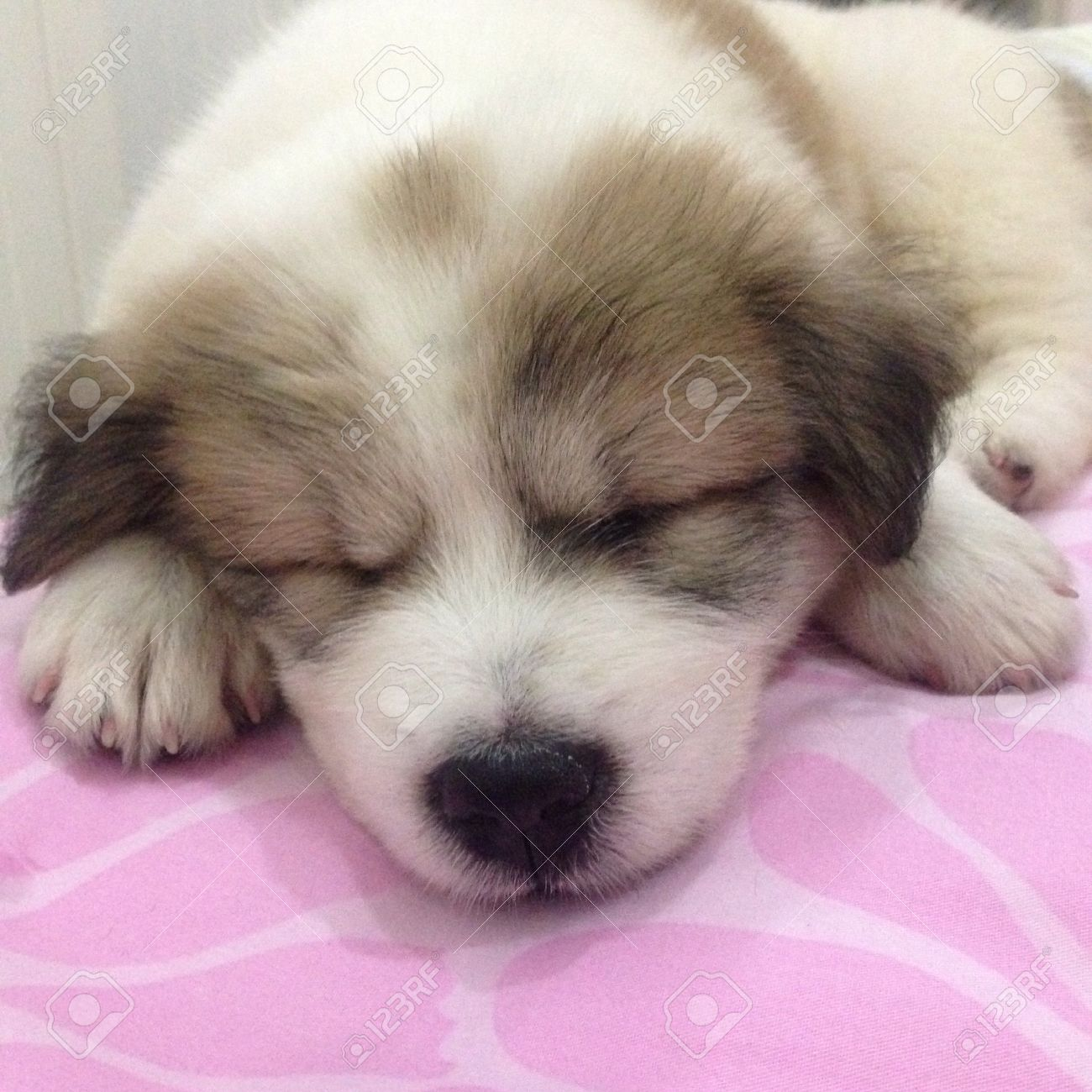 cute puppy sleeping on the bed stock photo, picture and royalty free