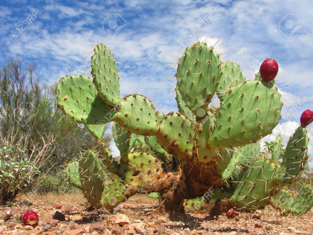 アリゾナ州の砂漠の赤い果実を持...