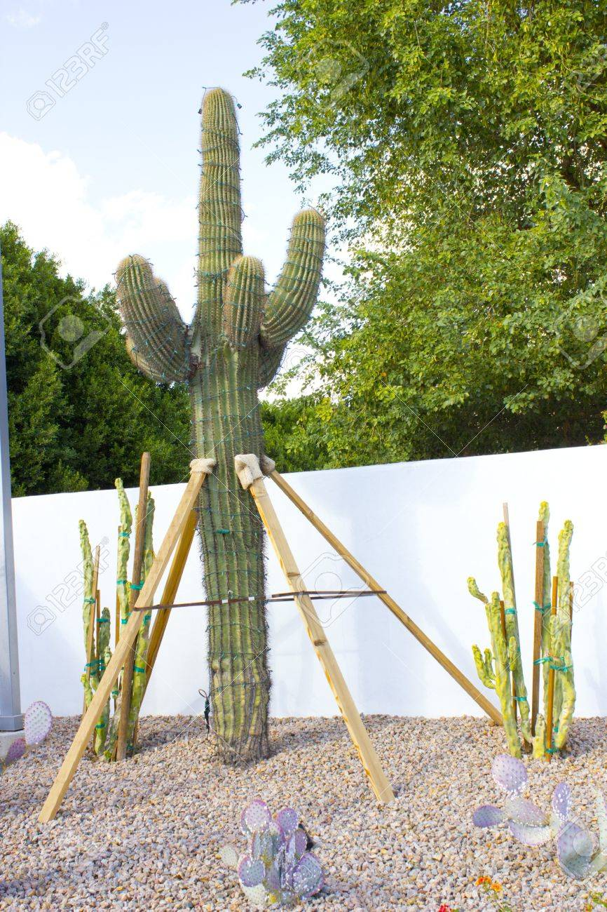 Cactus Decoration As A Christmas Tree Process Scottsdale Az Stock