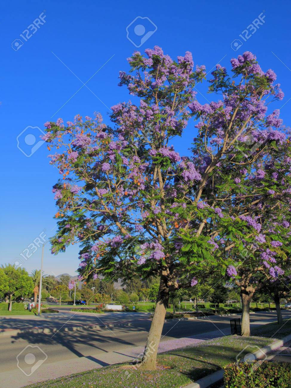 Purple Blue Jacaranda Trees Along Southern California Alley Stock