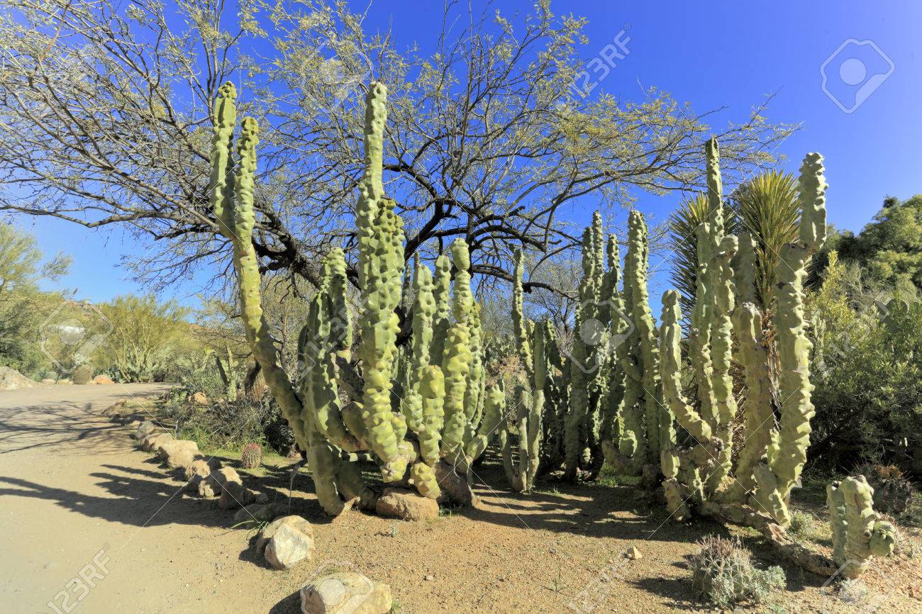 Montrose totem pole cactus in boyce thompson arboretum state park az stock photo 25953898