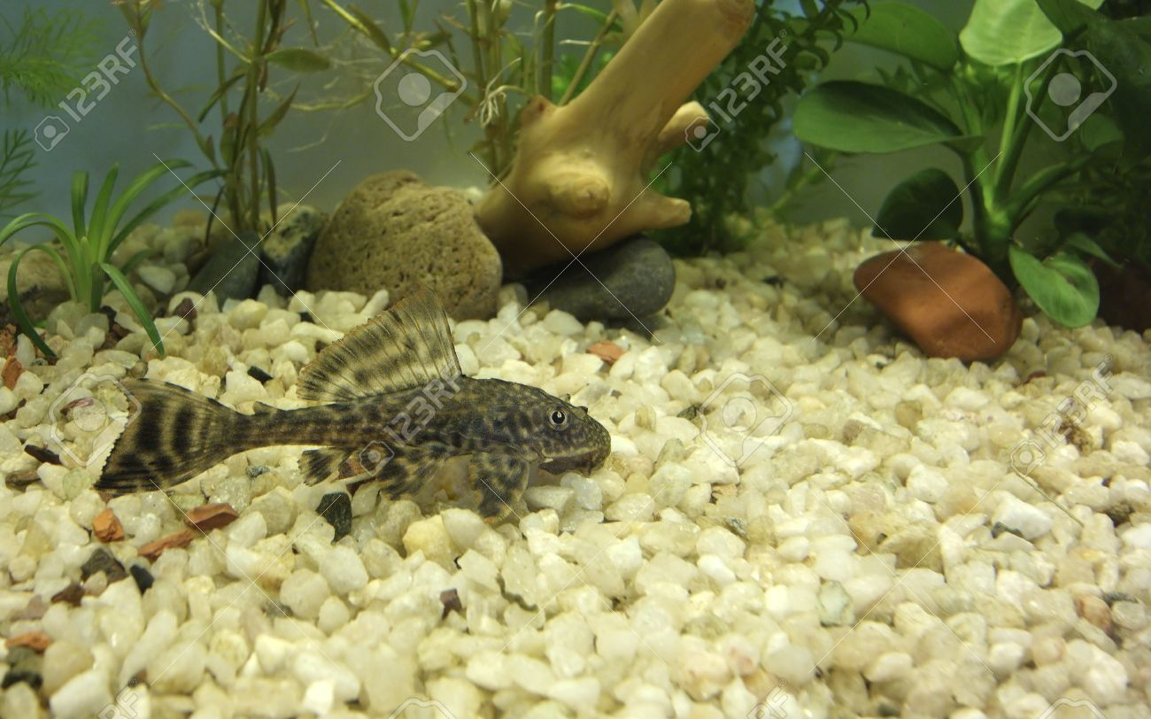 Freshwater aquarium fish bottom dwellers - Aquarium With Bottom Dweller Cat Fish Hypostomus Plecostomus Stock Photo 27331531
