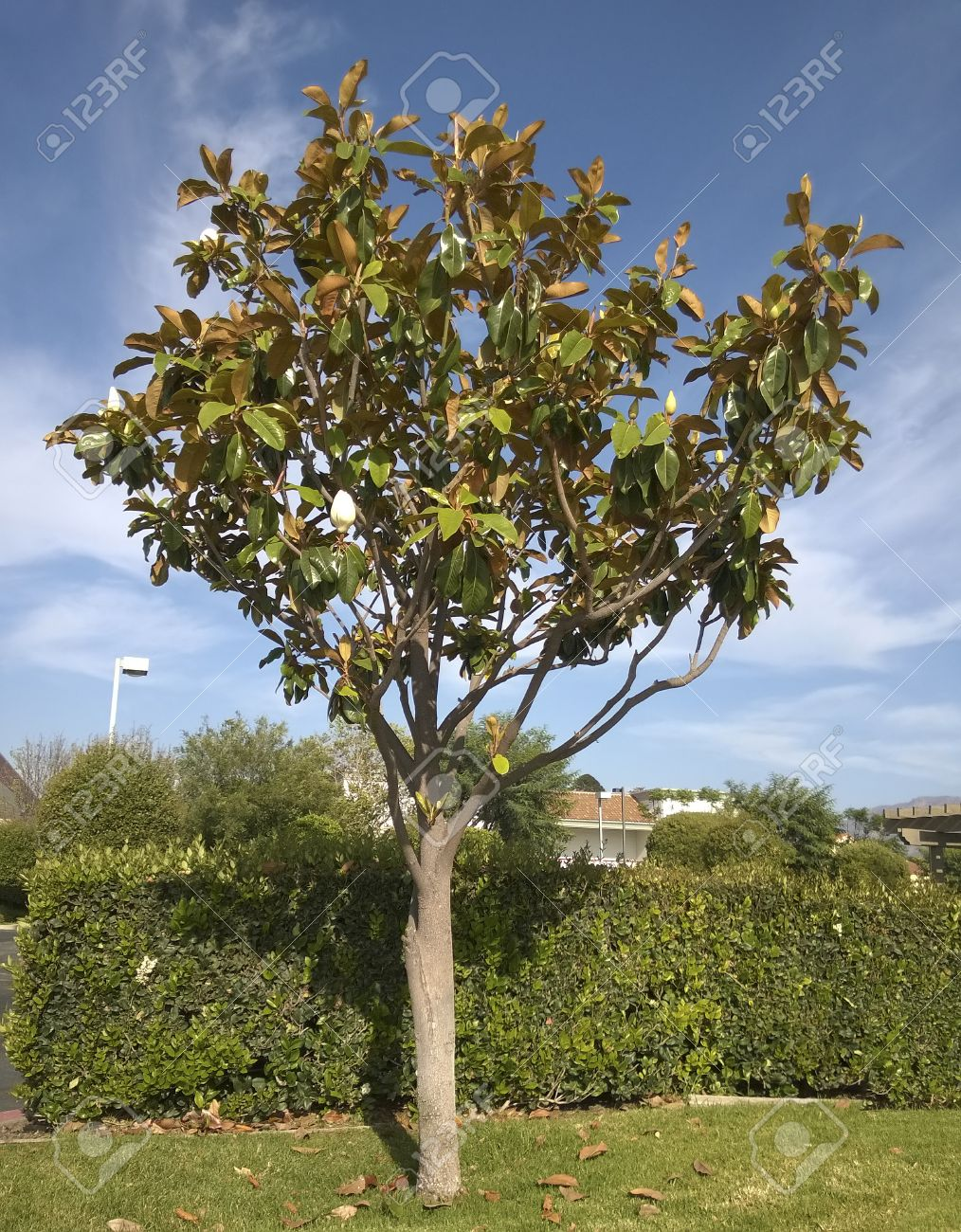 Southern california magnolia tree with open white flowers stock southern california magnolia tree with open white flowers stock photo 29127481 mightylinksfo
