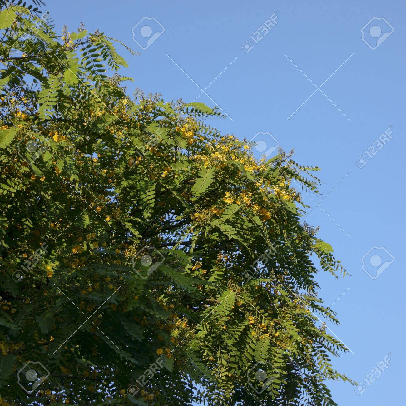 Southern California Acacia Tree Crown With Yellow Flowers Stock