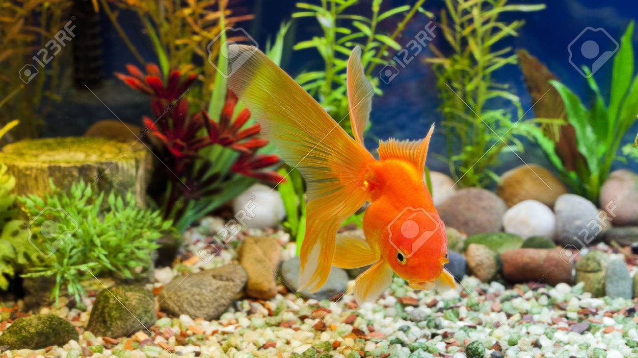 Fish tank aquarium castle hill - Fish Tank Red Fantail Hardy Fancy Gold Fish In Planted Aquarium Stock Photo
