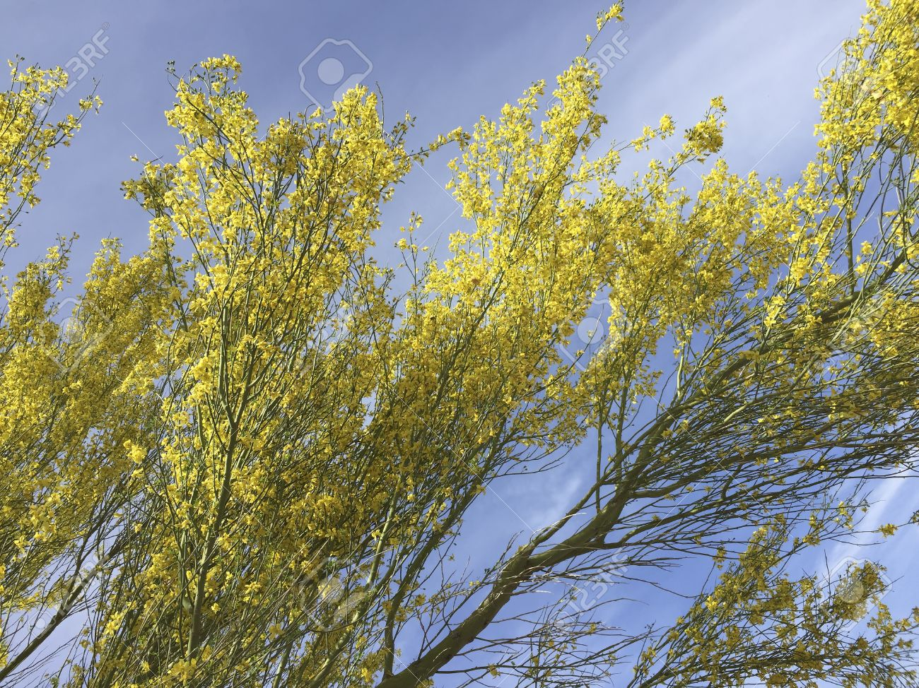 Yellow Blossom Of Palo Verde Tree In Spring Against Blue Sky Stock