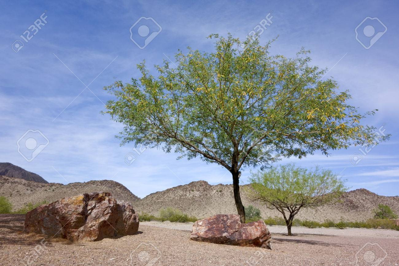 flowering mesquite trees in arizona mountain desert backyard