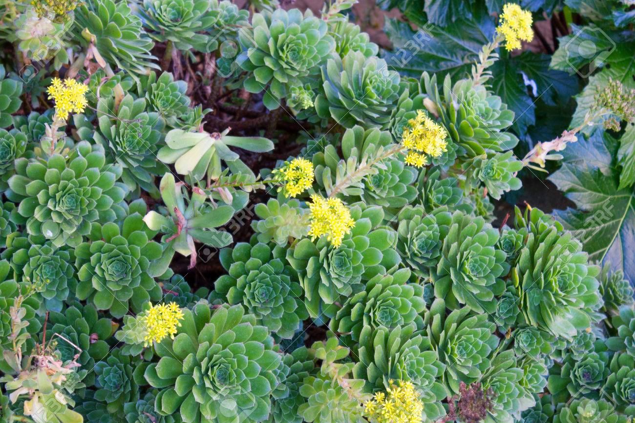 Southern california hen and chicks succulents covering ground southern california hen and chicks succulents covering ground with watery thick leaves and yellow flowers stock mightylinksfo