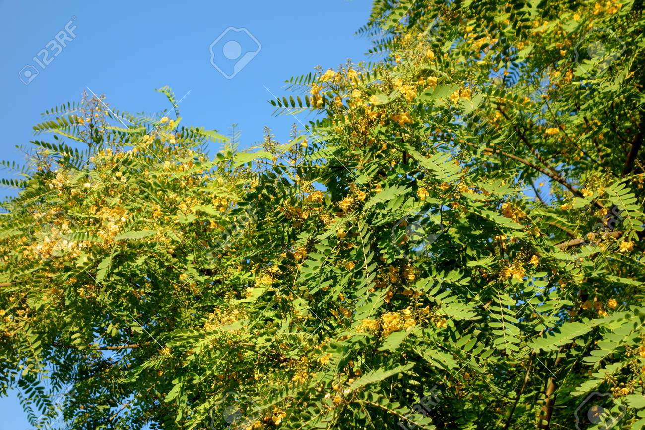 Acacia Tree Crown Blooming With Yellow Flowers Southern California