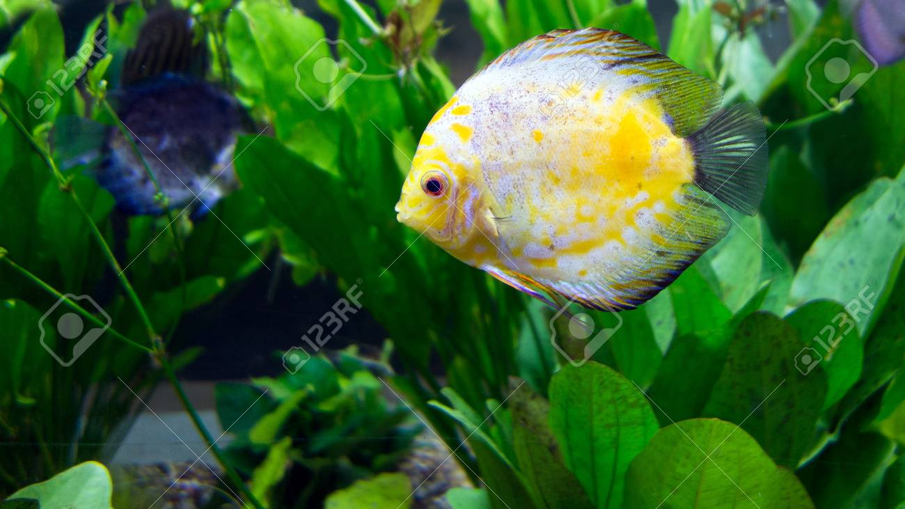 Amazon River Basin Discus Is Most Beautiful Tropical Fresh Water ...
