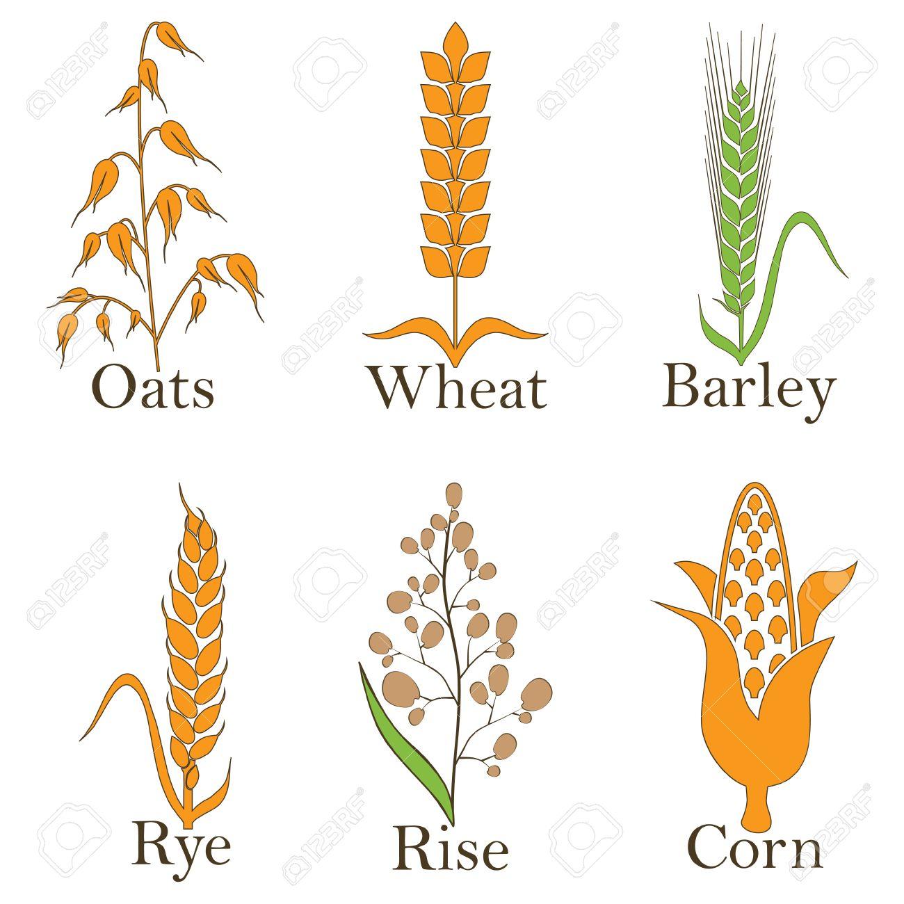 cereals vector icons rice wheat corn oats rye and barley rh 123rf com barley vector free barley vector free