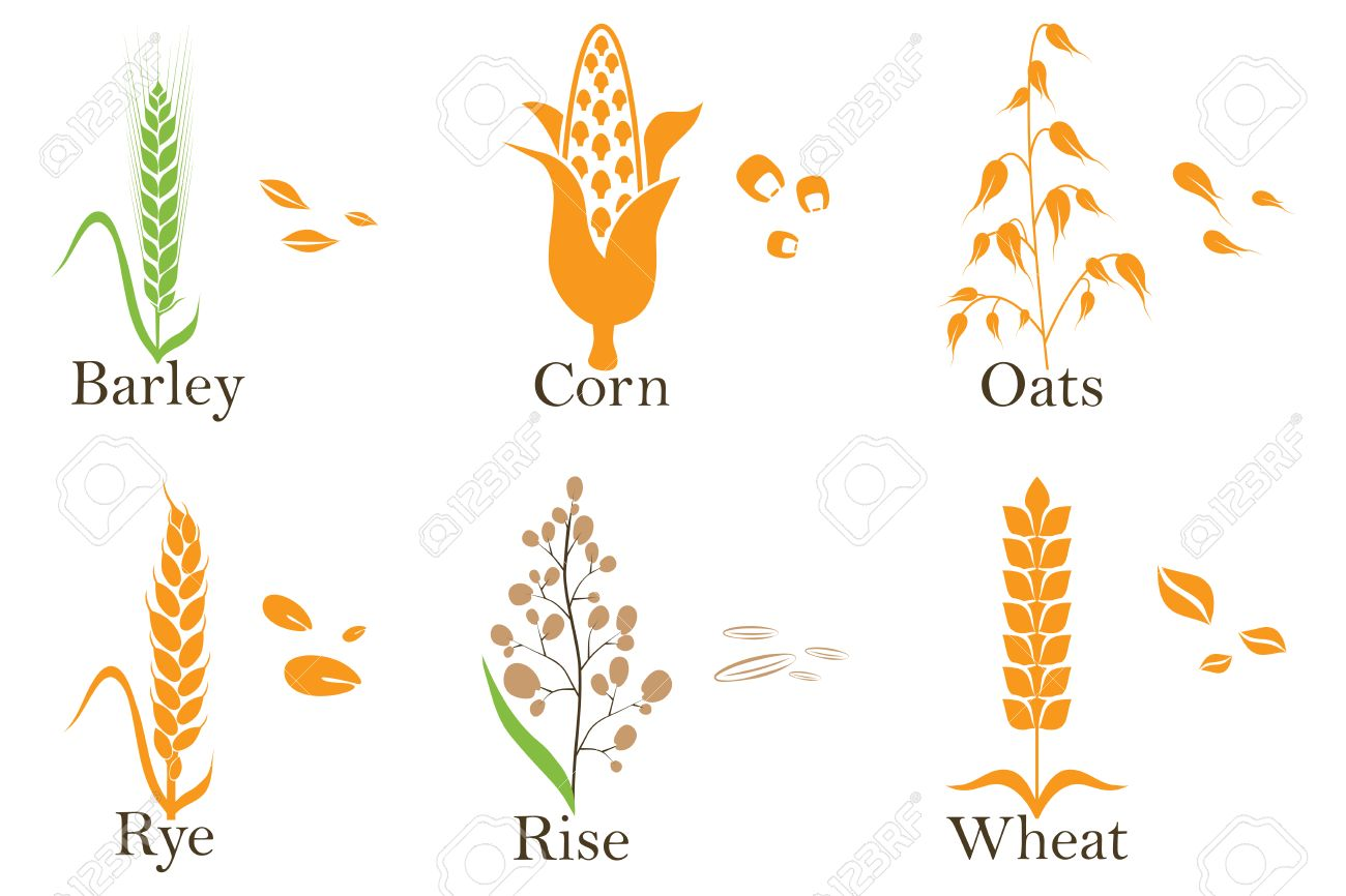 Cereals vector icons. rice, wheat, corn, oats rye and barley Vector illustration - 67759819