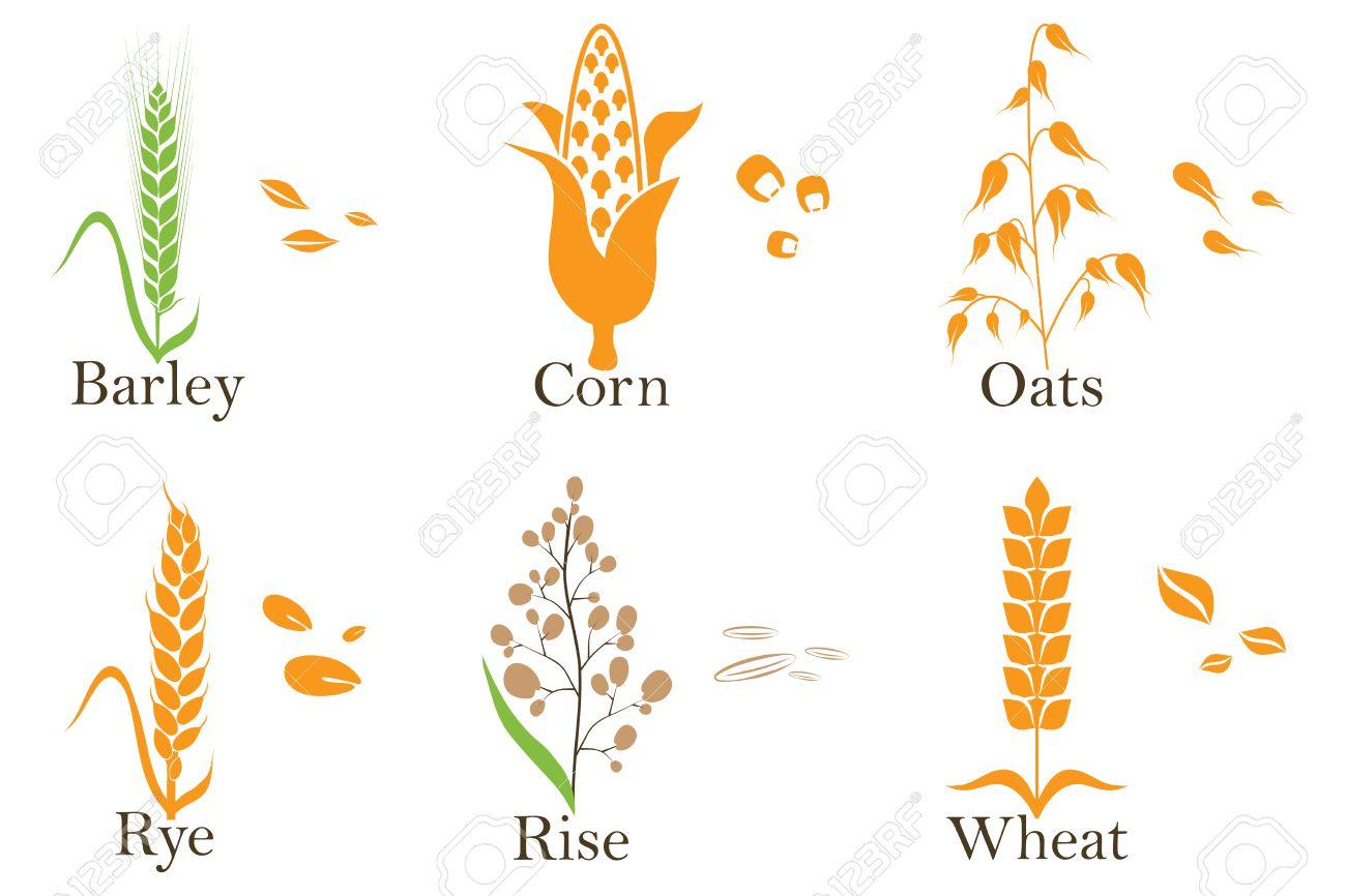 cereals vector icons rice wheat corn oats rye and barley rh 123rf com barley vector art barley vector free