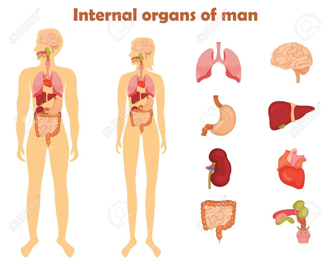 Human Internal Organs Icon Set Vector Illustration In Cartoon