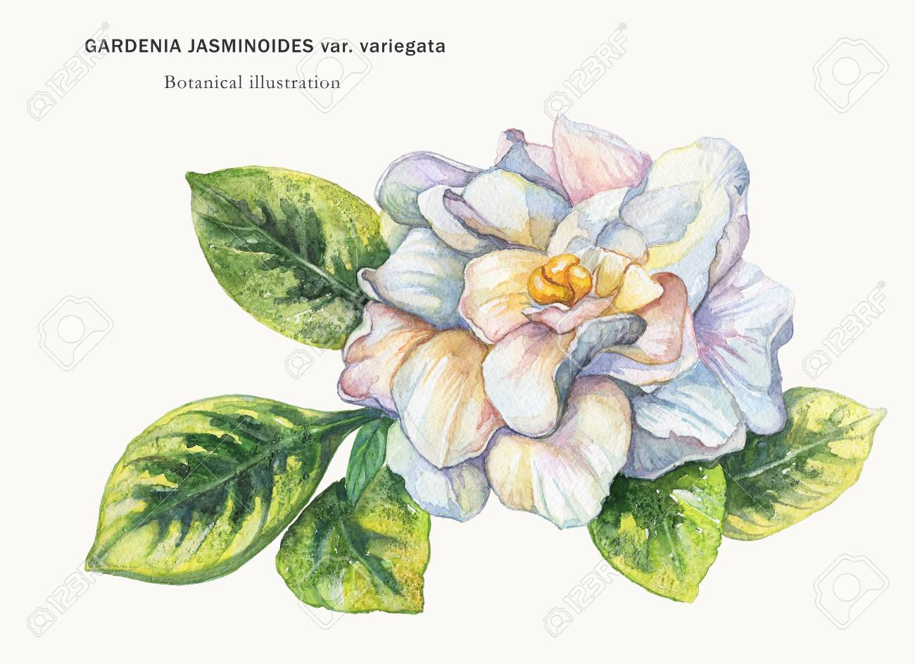 Watercolor Drawing From The Hand Of The Flower Gardenia Botanical