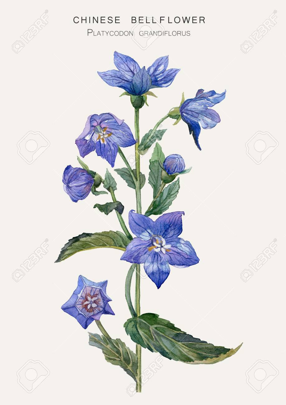 桔梗 キキョウ ハシラ の植物のイラスト水彩描画 の写真素材画像