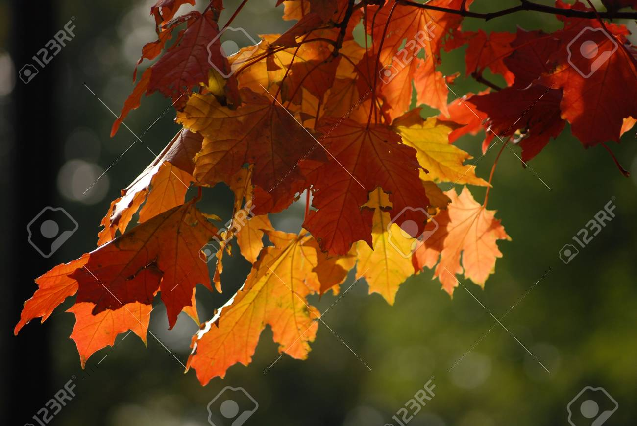 maple leaves in autumn Stock Photo - 4471605