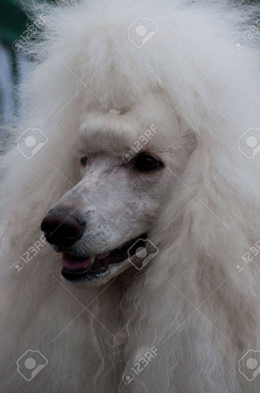 Head Study Of White Standard Poodle With Diamond Stud Collar