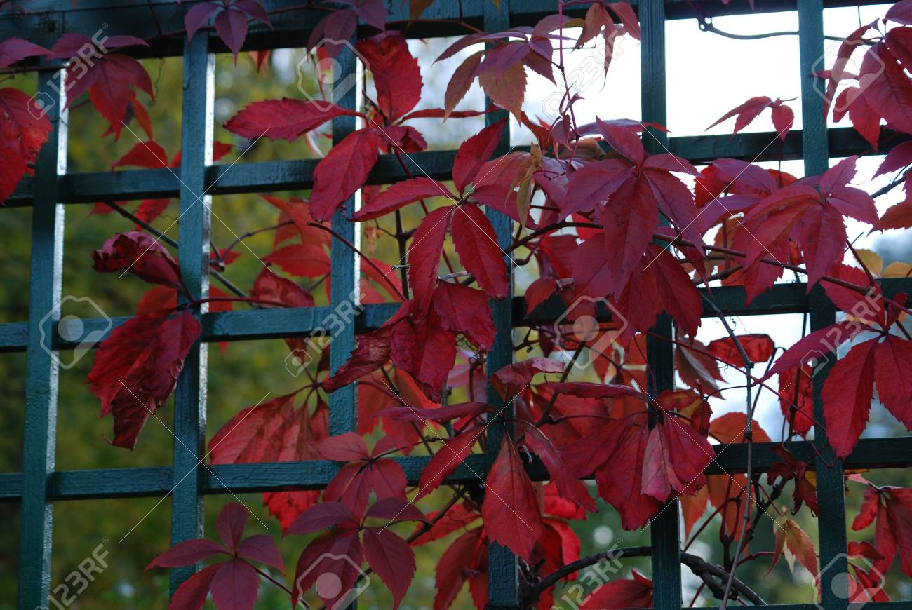 Red leaves of vine are in autumn on a background a green fence Stock Photo - 5729957