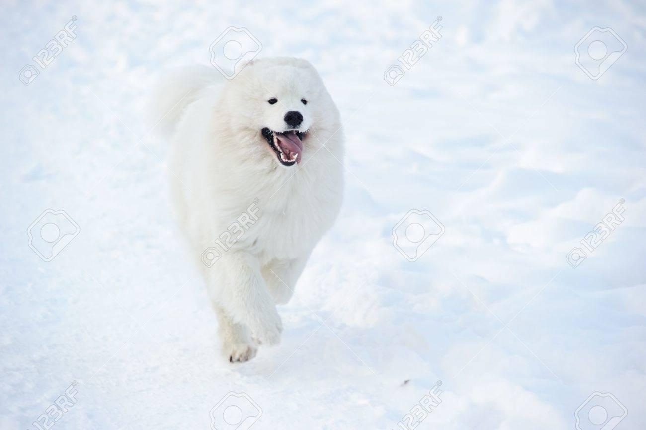 Samoyed Dogs For Sale 75249 - Samoyed dog on the snow stock photo 8678948