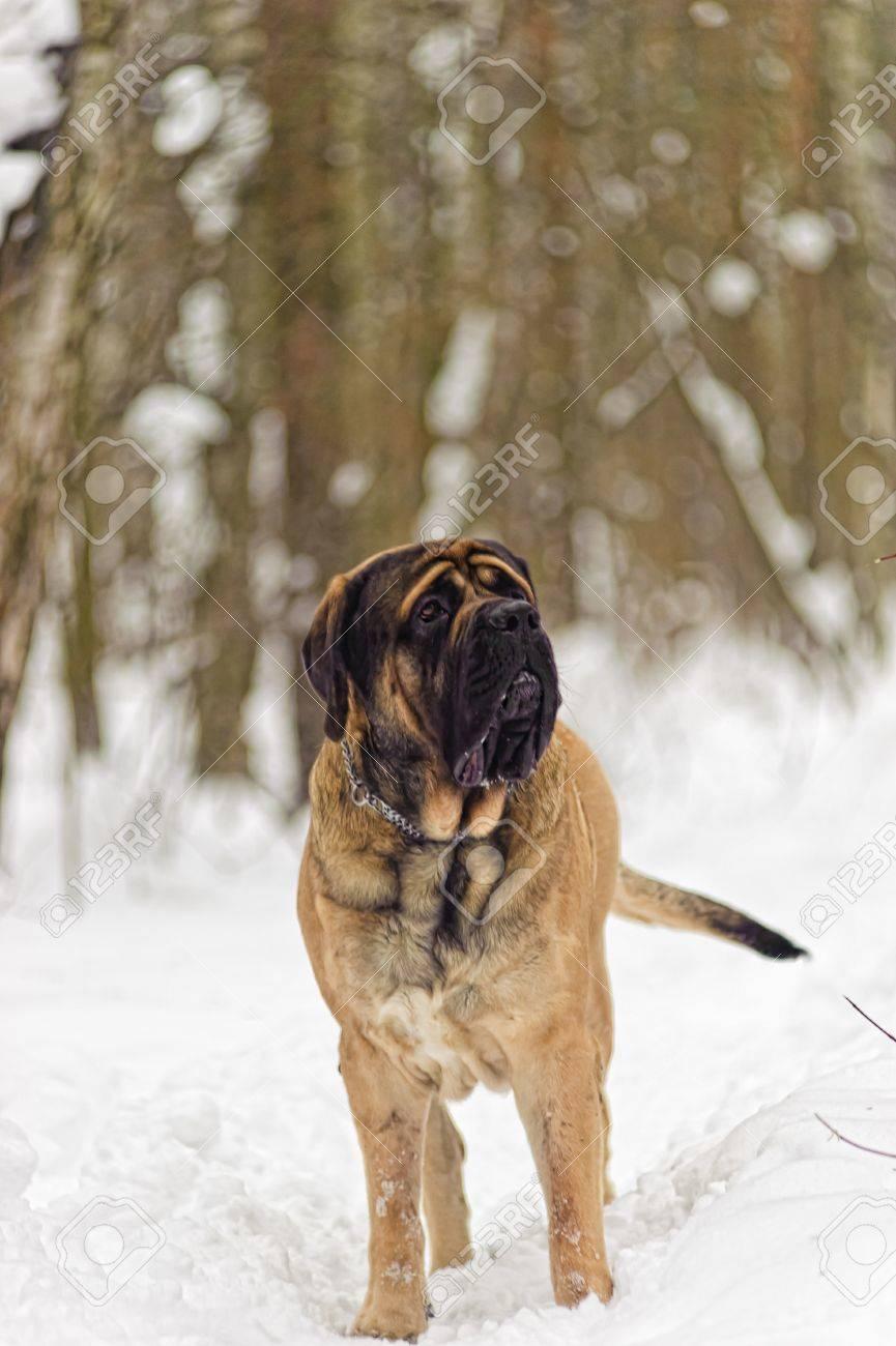 english mastiff Stock Photo - 8799377